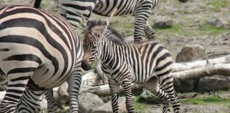 Zebraveulen Emmen